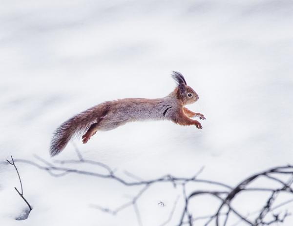 Squirrel in Nuuksio by hannukon