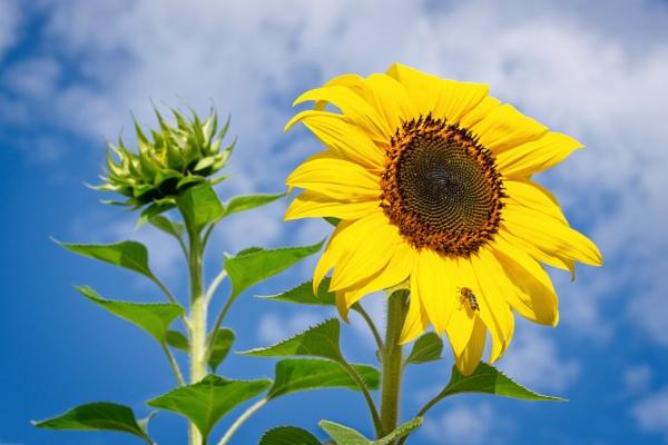 Sunflower & Friend by DPW