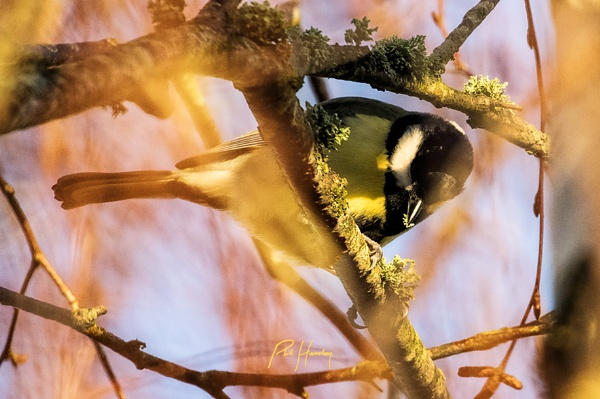 Great Tit by HemsleyPhoto