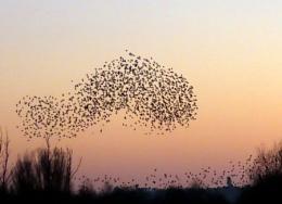 Starling wormuration