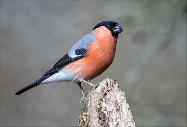 Bullfinch (Male) by dven