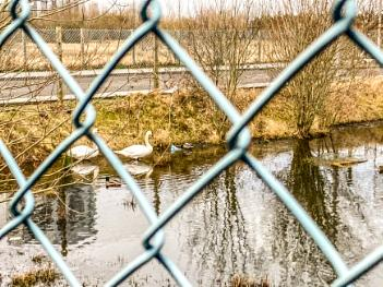 Two Swans, and a fence.