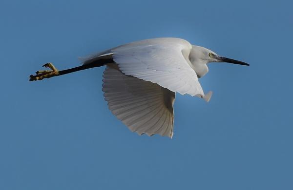 Little Egret in flight by nicholl