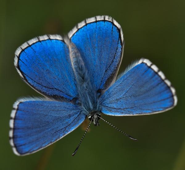 Adonis Blue by nicholl