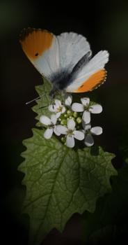 Orangetip on a white flower