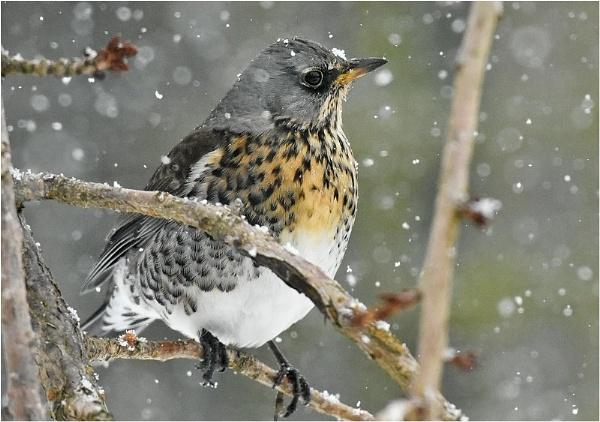Fieldfare in Snow by MalcolmM