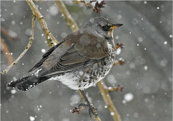 Fieldfare in Snow 2 by MalcolmM