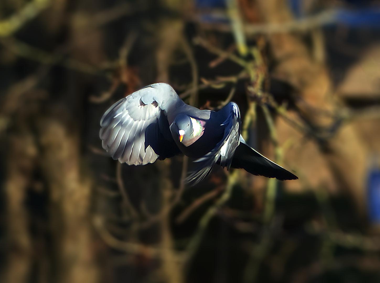 Pigeon in back garden