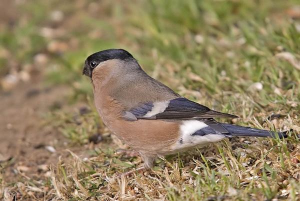 Mrs Bullfinch by johnsd