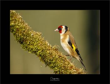 Goldfinch again