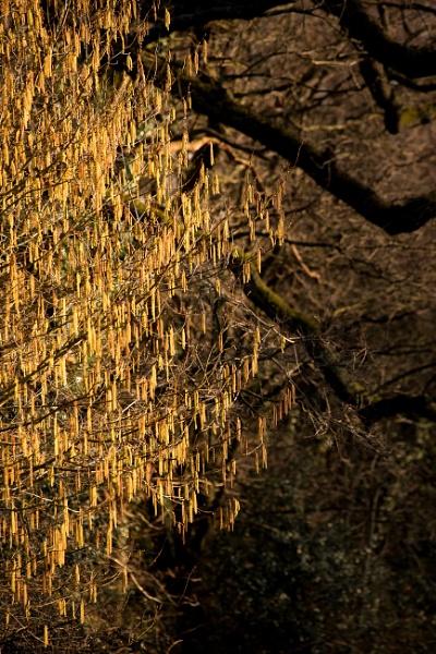 Golden Catkin rain by JackAllTog
