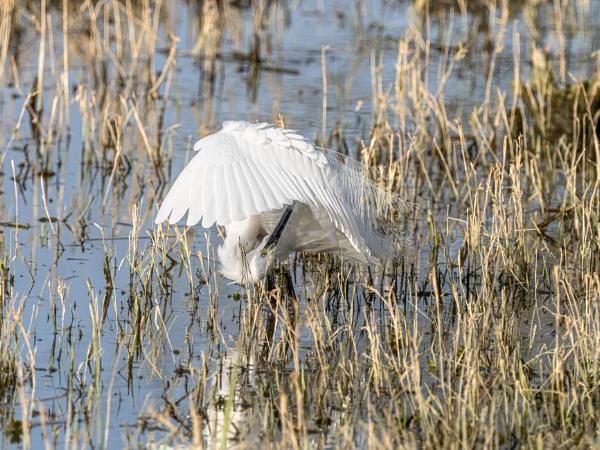 Little Egret (Egretta garzetta) by Ray_Seagrove