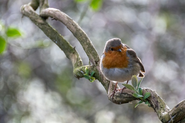 Robin looking alert in a tree on a cold spring day by Phil_Bird