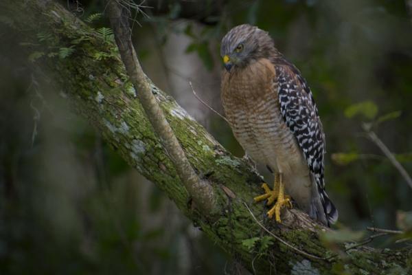 Red shouldered hawk by jbsaladino