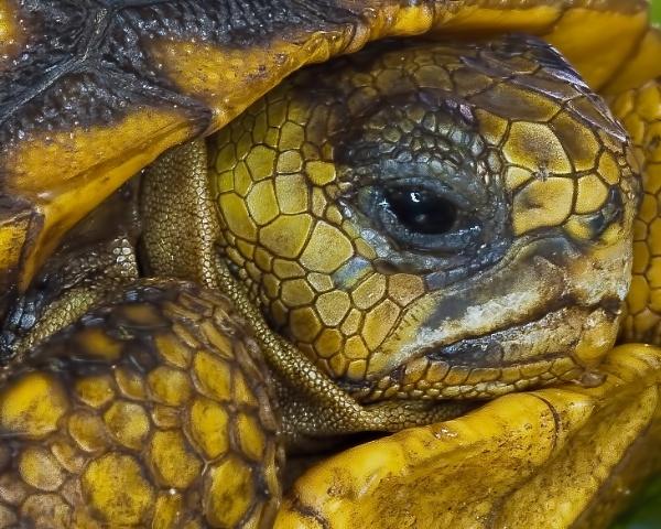 Gopher tortoise by jbsaladino