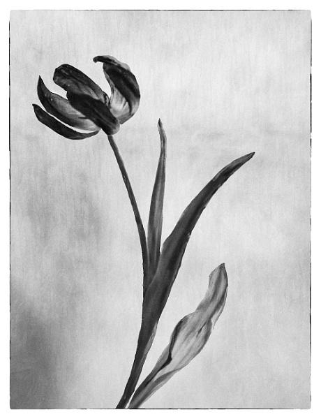 Tulip in mono by Irishkate