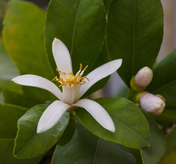 Lemon flower by chavender