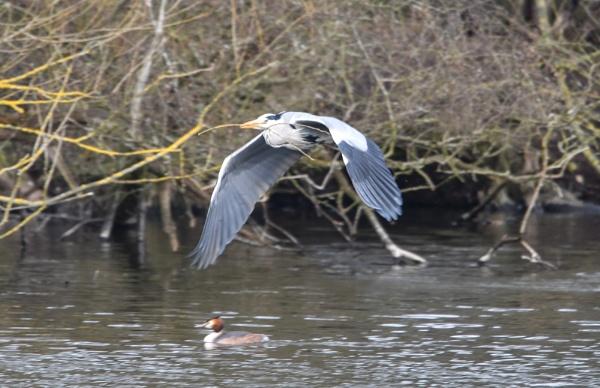Grey heron in flight by Bryan_Marshall