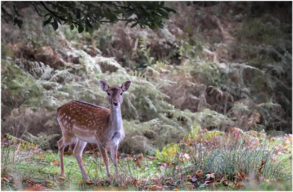 Fallow Deer by capto