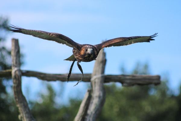Raptor in flight by comuirgheasa