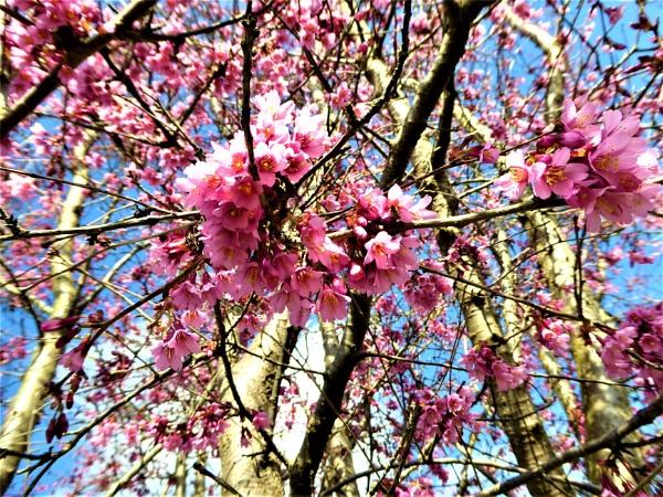 cherry blossom by jenny007