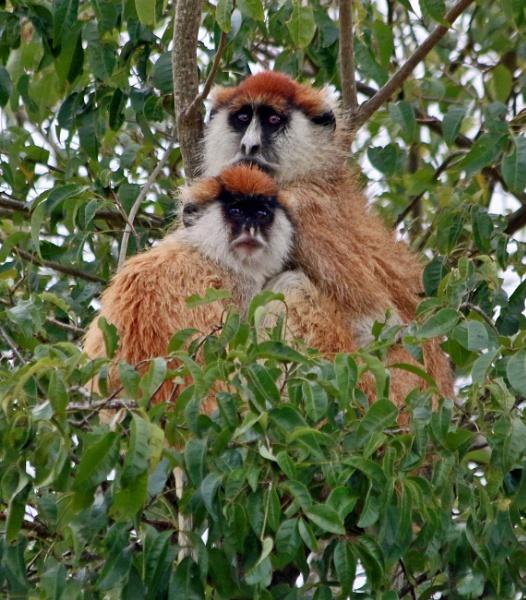 Patas Monkey (Erythrocebus patas) by Karuma1970