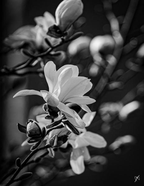 Magnolia Stellata by chataignier