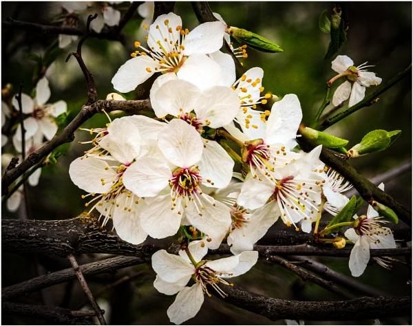 Cherry Blossom by jimobee