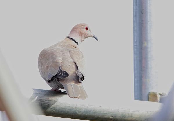 Collard Dove by af1