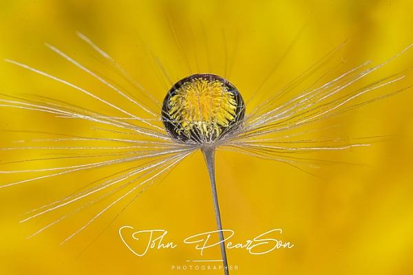 Dandelion In Droplet On Dandelion by johnp