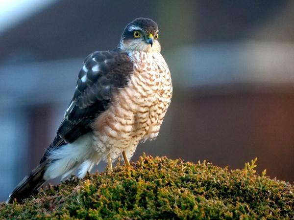 Sparrowhawk by DerekHollis