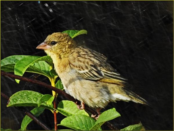 Bird in a rain shower. by fotobee