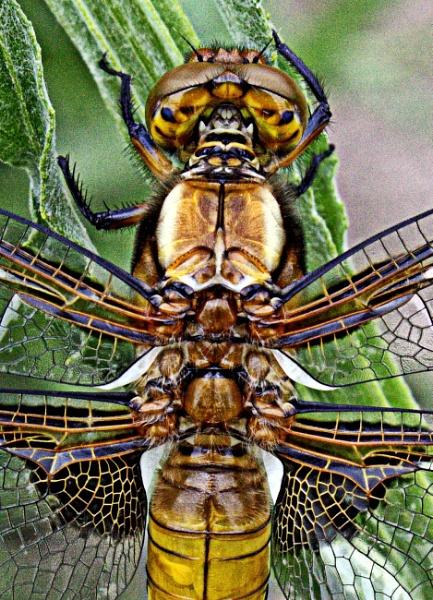 Dragon fly thorax by martininbg