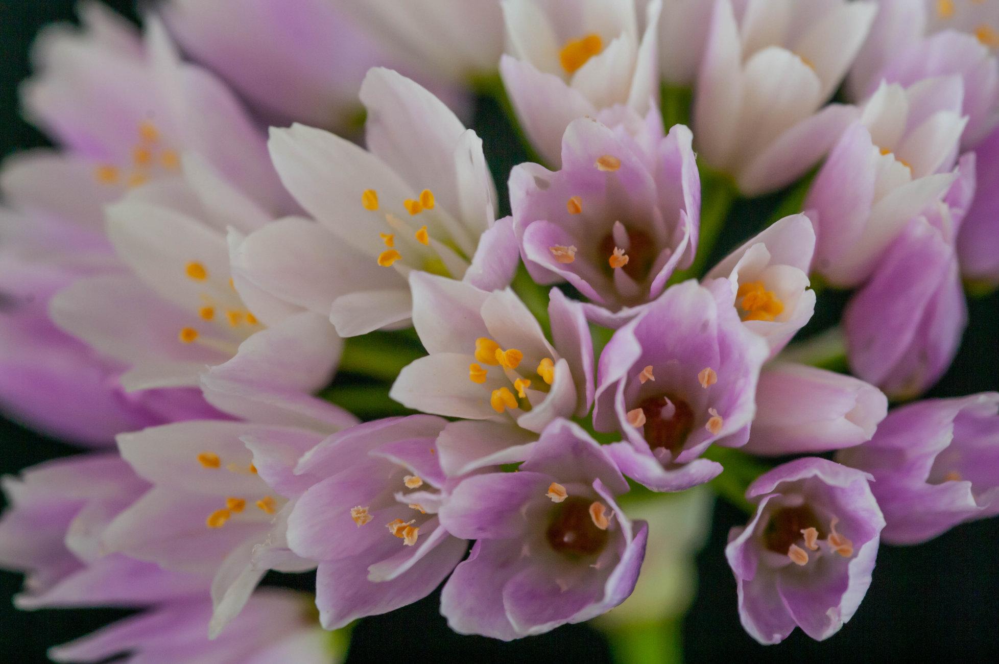 Wild garlic blossoms