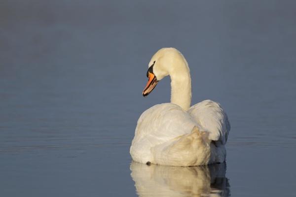 Swan by Philipwatson