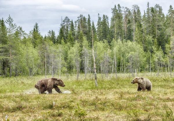 Bears in Ruhtinaansalmi by hannukon