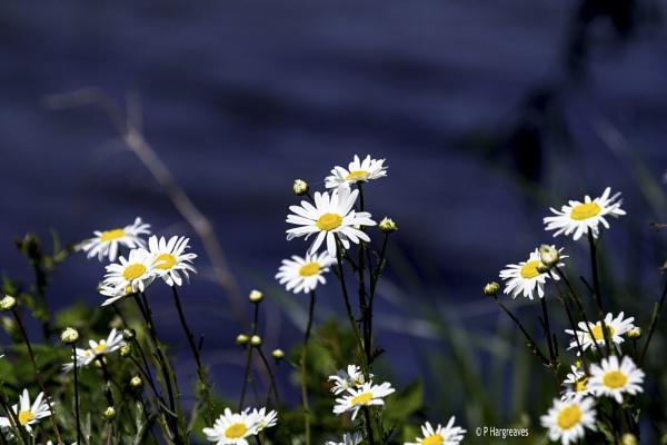 daisy daisy by snookerball