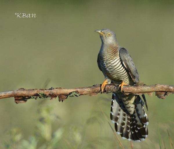 Female Cuckoo , taken last June by KBan