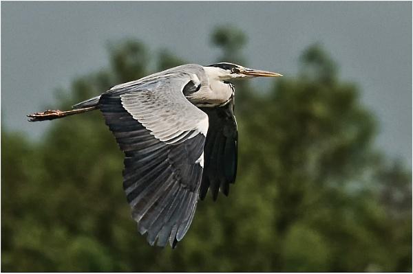 Grey Heron by dven