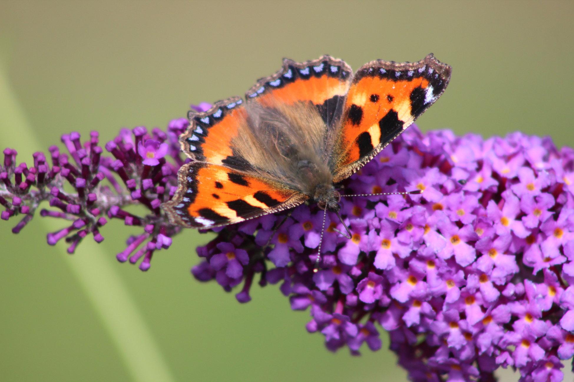 Small Tortoiseshell Butterfly July 2020