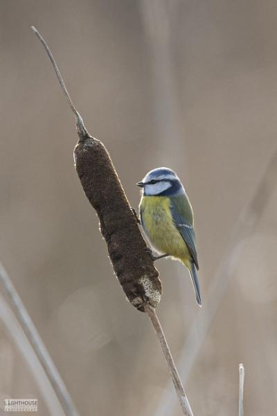 Blue Tit by LighthousePhotography
