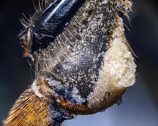 Pollen in the Corbicula (Pollen Basket) of a honeybee by lagomorphhunter