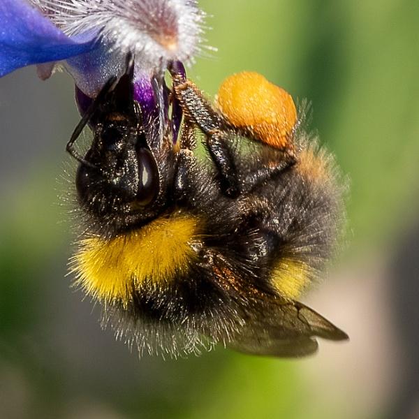 Bumblebee on borage by lagomorphhunter