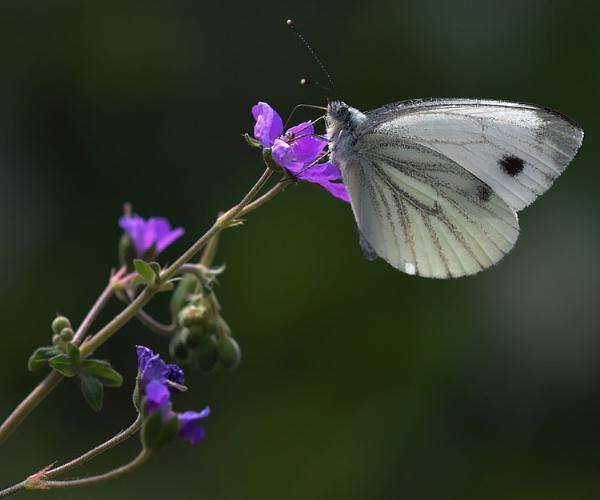 Green Veined white on a purple flower by nicholl