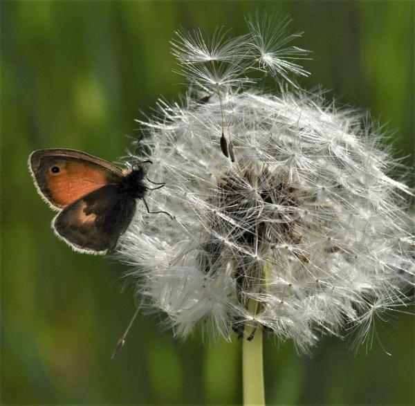 Small Heath on a dandelion seed head by nicholl