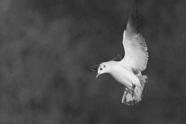Black & white gull by PGibbings
