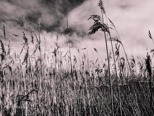 Fields of barley by margymoo
