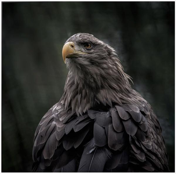 Eagle by Carlos9