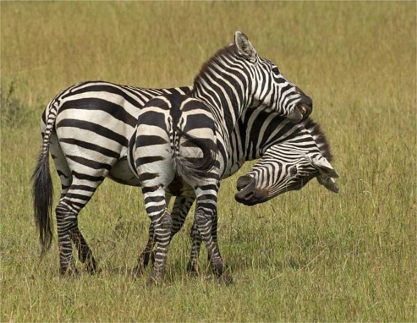 Zebra pair. by JeanE