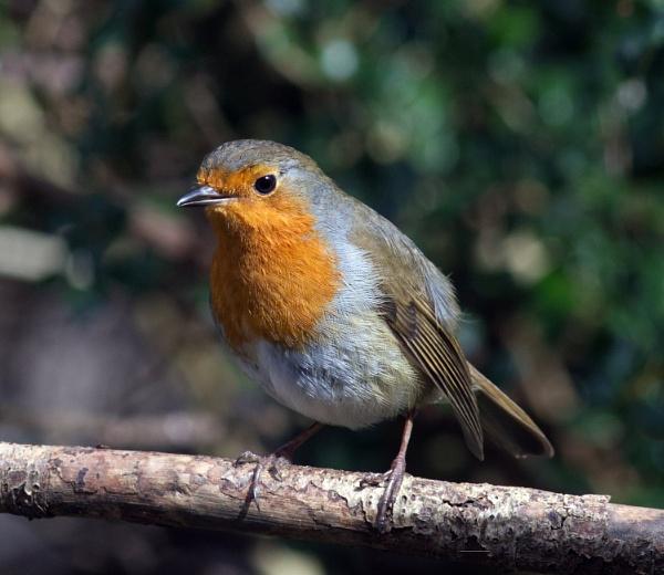 Robin (again) by oldgreyheron